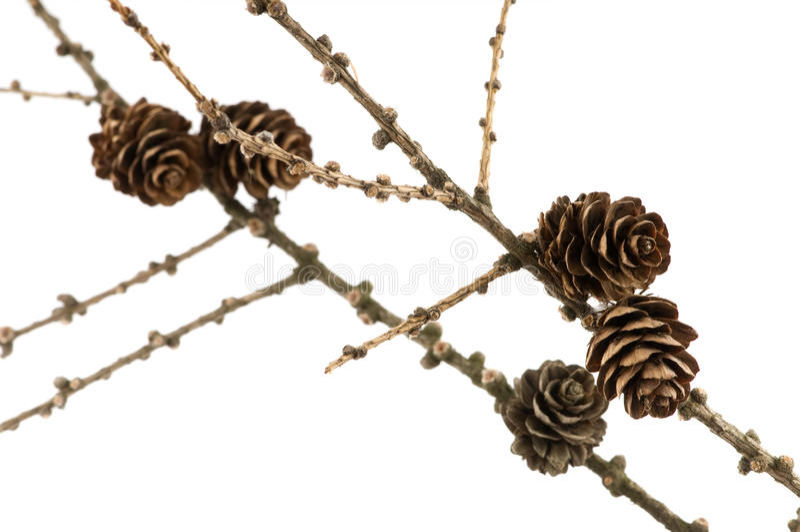 конусы ветви spruce стоковые фотографии rf