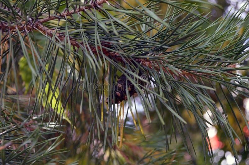 конусы ветви spruce стоковое изображение rf