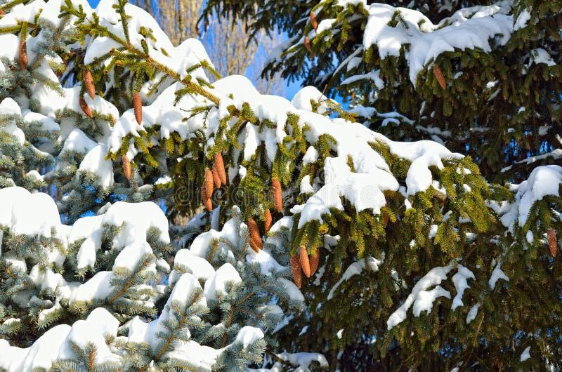 Конусы ели на снеге покрыли ветви спруса, в зиме стоковое фото