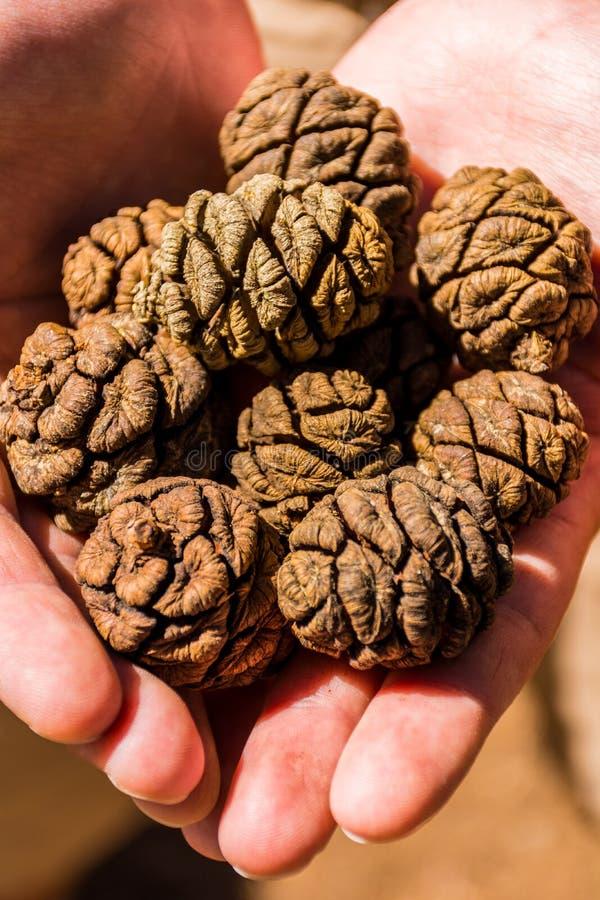 Конусы дерева гигантской секвойи, гигантского леса, Калифорнии США стоковая фотография