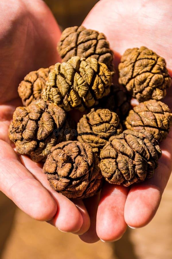 Конусы дерева гигантской секвойи, гигантского леса, Калифорнии США стоковые изображения rf
