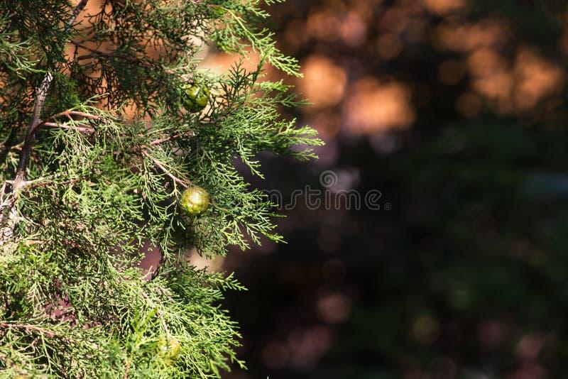 Конусы на ветви sempervirens кипариса предпосылка расплывчатая стоковое фото rf