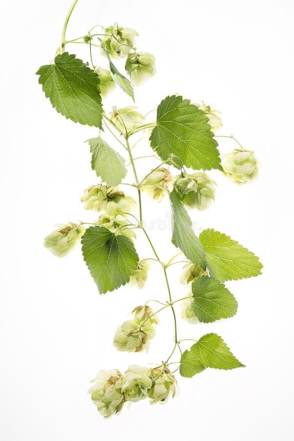 Download Конусы семени хмелей изолированные на белизне Стоковое Изображение - изображение насчитывающей свеже, изолировано: 37930271