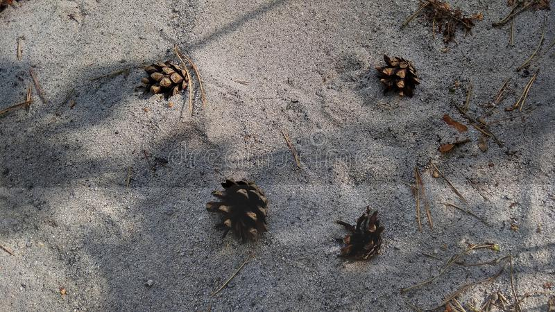 Конусы сосны на песке моря стоковые фото
