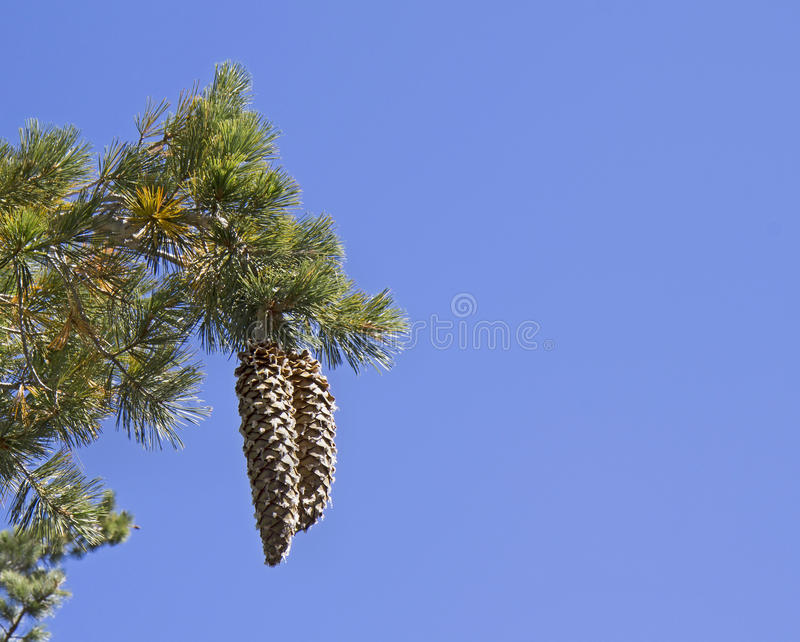 Конусы сосны сахара Tahoe на bakground голубого неба стоковые изображения rf