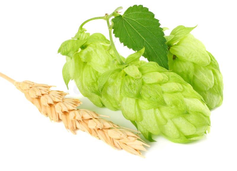 Конусы хмеля и уши пшеницы изолированные на белой предпосылке Ингридиенты заваривать пива Концепция винзавода пива пиво предпосыл стоковые фотографии rf