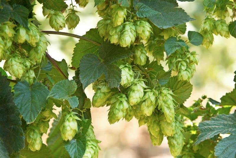 Конусы хмеля, сырье для продукции пива стоковое фото rf