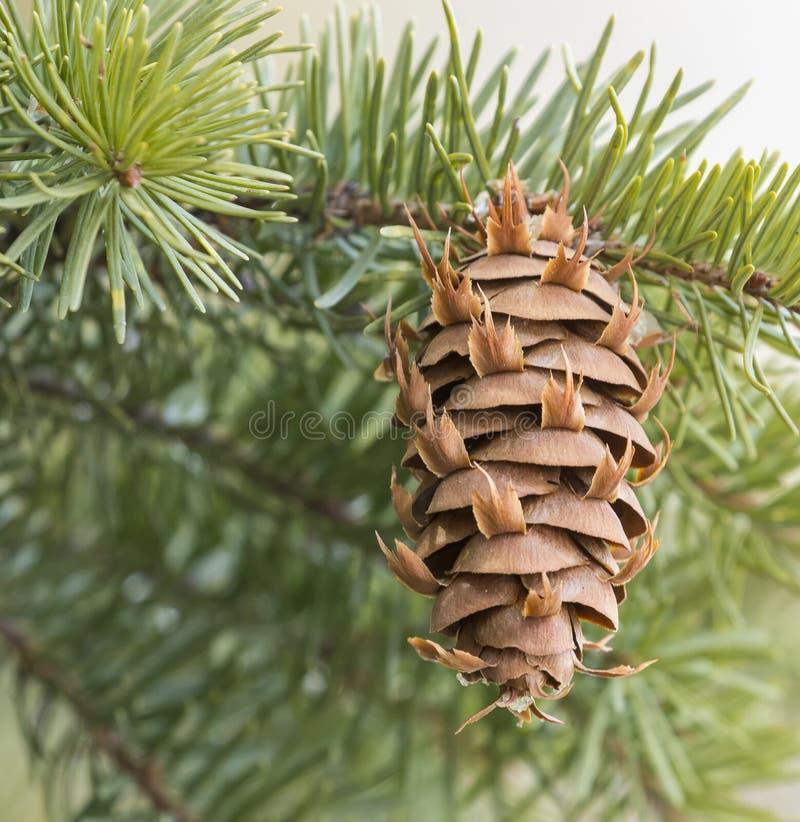 Конус ели Дугласа вечнозеленый на ветви дерева стоковая фотография