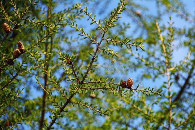 Конус лиственницы на дереве стоковые изображения rf