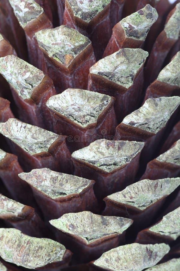 Конус сосенки макроса стоковое фото rf