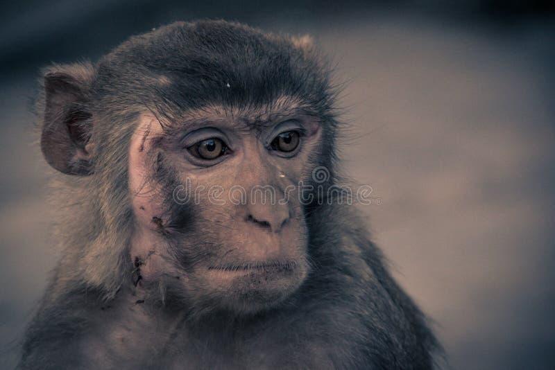 Конца вид спереди вверх - стороны обезьяны с шрамом, смотря к r стоковое изображение rf