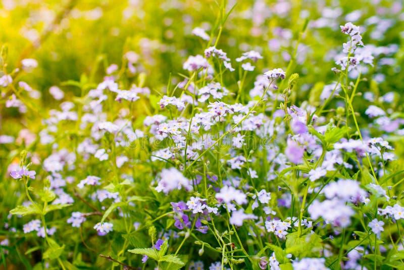 Концепция аллергии Красивые цветки весны цвести в поле Незабудки в цветени стоковые изображения rf