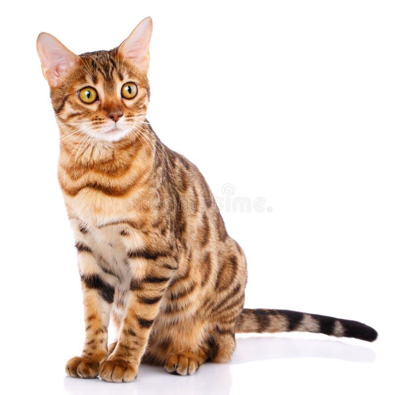 Концепция любимчиков, животных и котов - кот Бенгалии стоковые изображения rf