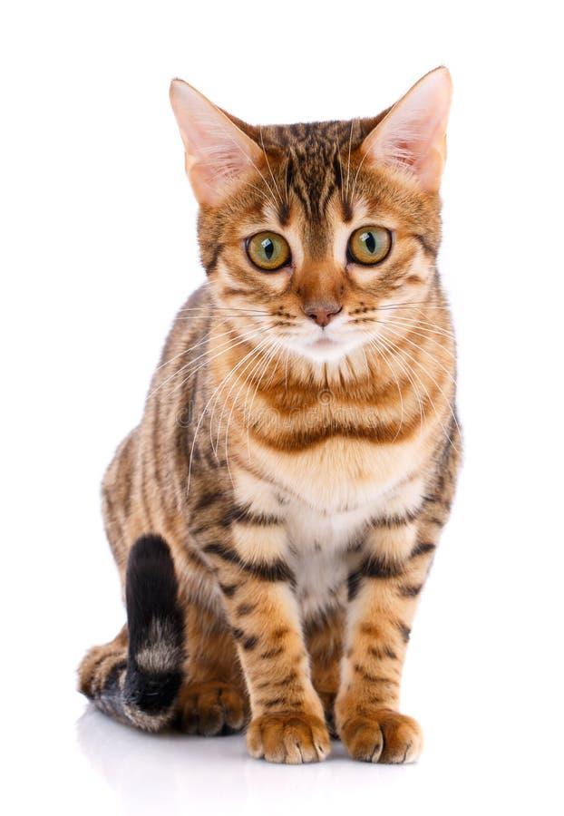 Концепция любимчиков, животных и котов - кот Бенгалии стоковая фотография