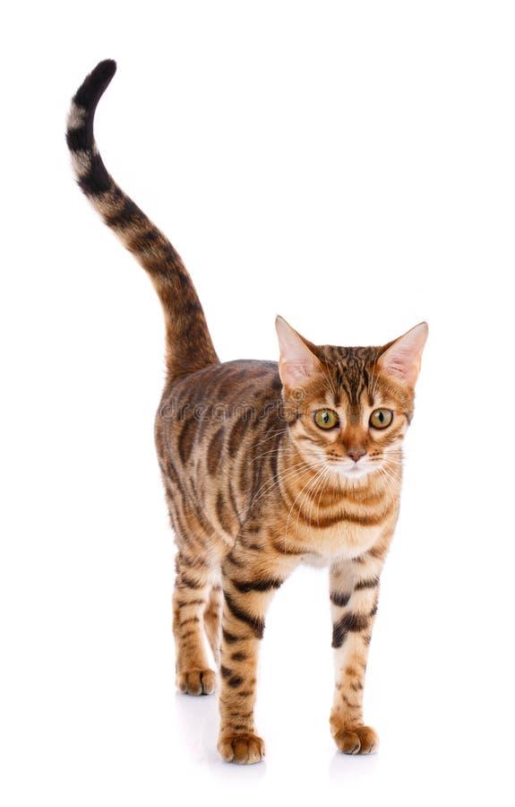 Концепция любимчиков, животных и котов - кот Бенгалии стоковое изображение