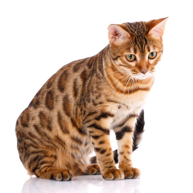 Концепция любимчиков, животных и котов - кот Бенгалии стоковое фото rf