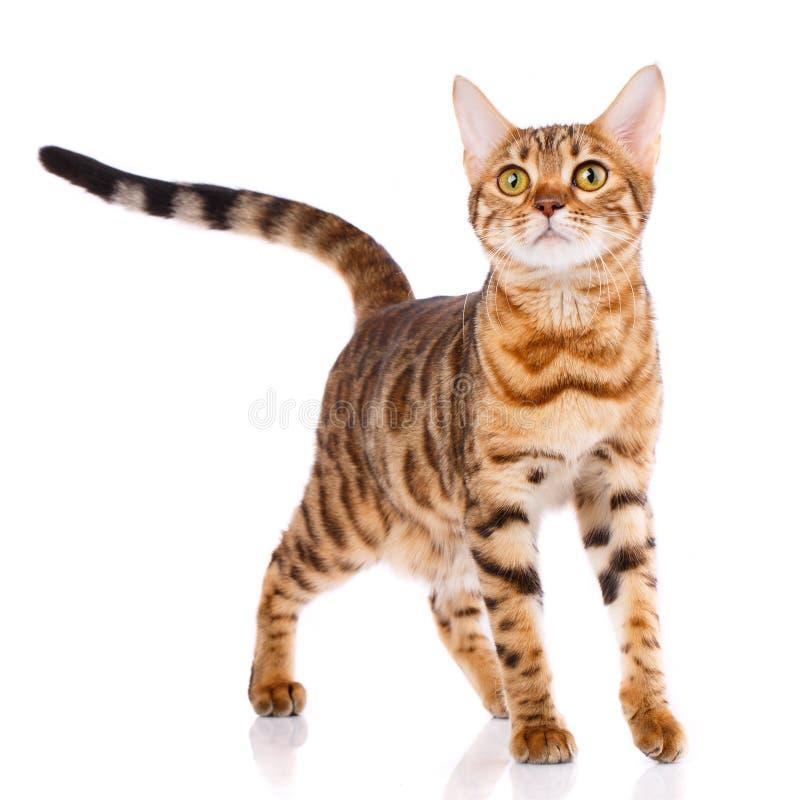 Концепция любимчиков, животных и котов - кот Бенгалии стоковая фотография rf