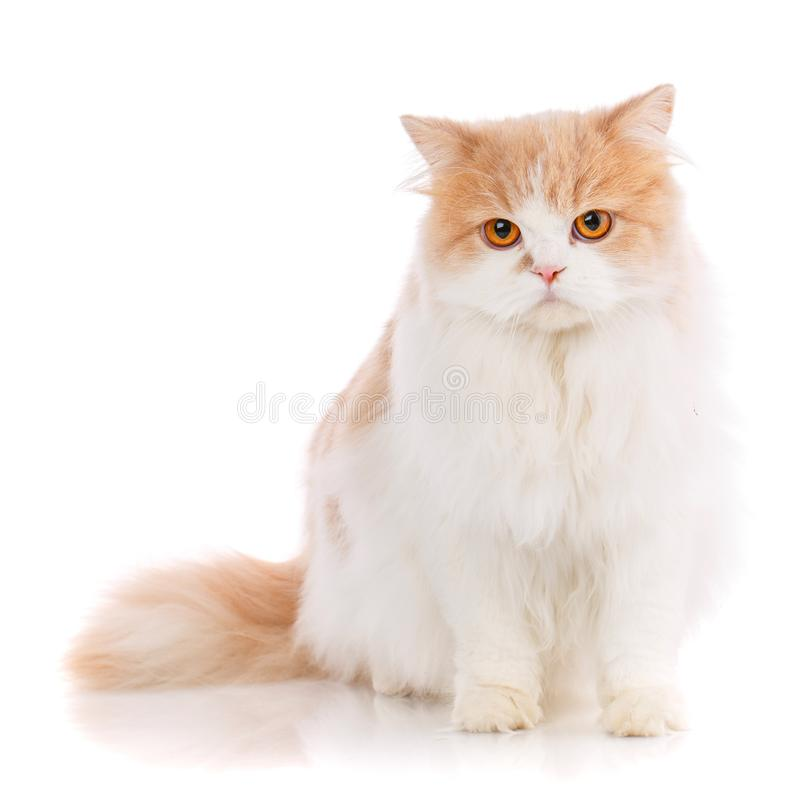 Концепция любимчиков, животных и котов - чистоплеменный шотландский кот на белой предпосылке стоковое изображение