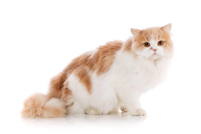 Концепция любимчиков, животных и котов - чистоплеменный шотландский кот на белой предпосылке стоковые изображения