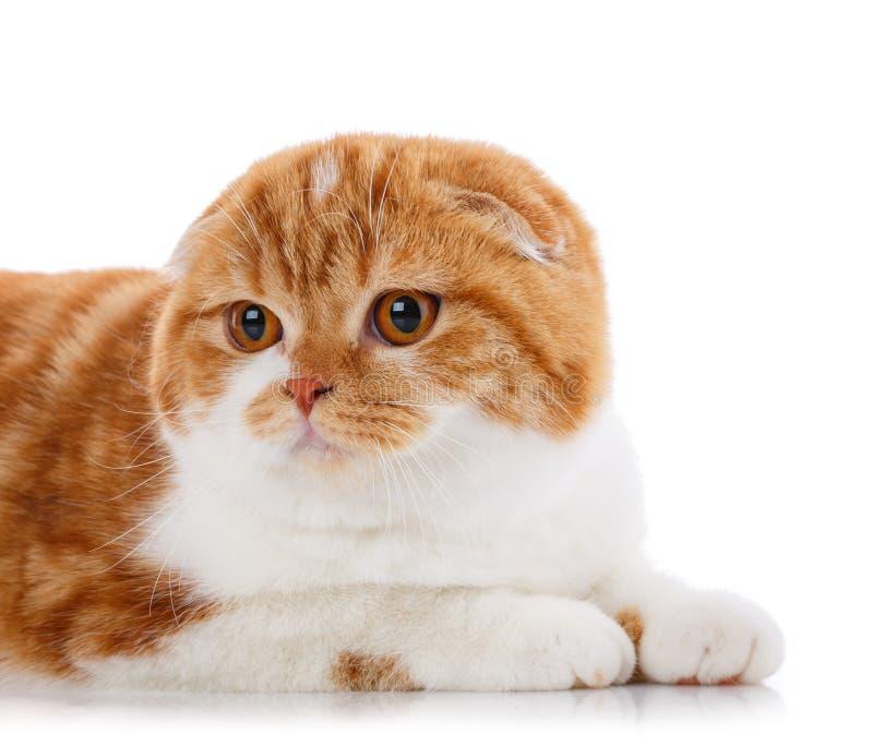 Концепция любимчиков, животных и котов - чистоплеменный великобританский кот на белой предпосылке стоковое фото