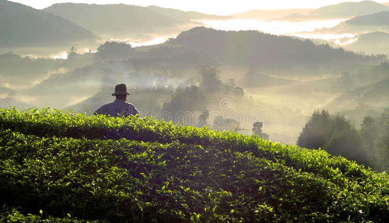 Концепция Малайзии плантации лист чая фермера стоковые изображения