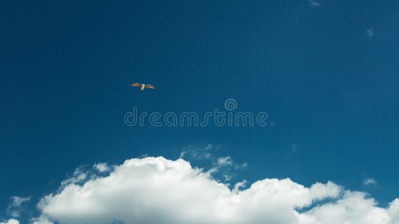 Концепция независимости мира свободы Муха голубя в голубом небе стоковая фотография