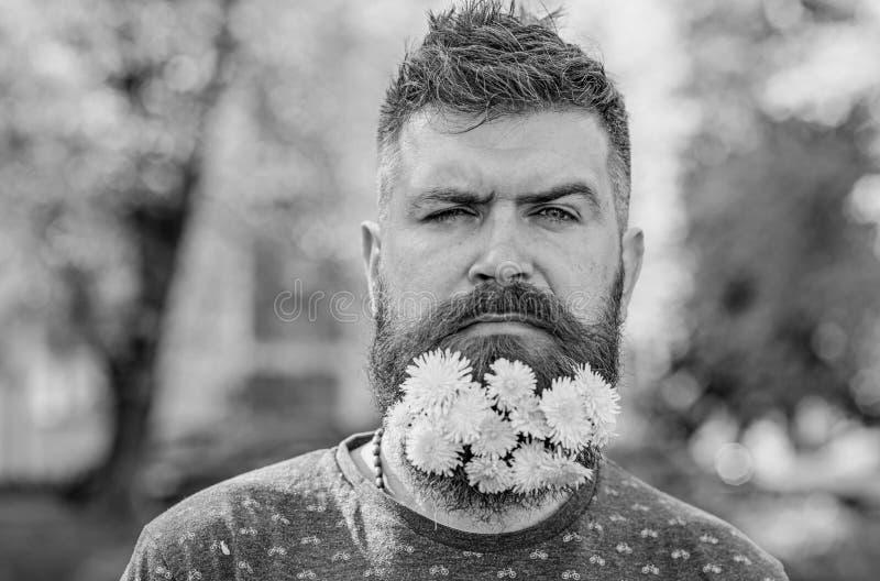 Концепция парикмахера Бородатый человек с одуванчиком цветет в бороде, конце вверх Человек с бородой и усик на строгой стороне стоковые фотографии rf