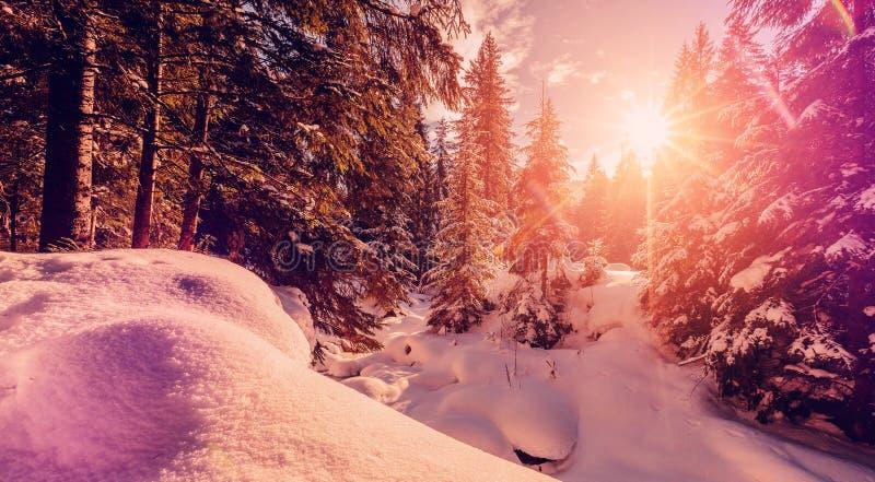 Величественный ландшафт зимы морозная сосна под солнечным светом на заходе солнца концепция праздника рождества, необыкновенное ч стоковые изображения rf