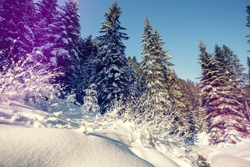 Величественный ландшафт зимы морозная сосна под солнечным светом на заходе солнца концепция праздника рождества, необыкновенное ч стоковое фото rf