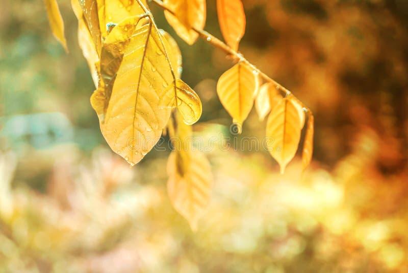 Концепция предпосылки осени с золотыми листьями и падениями дождевой воды Листья осени украшают красивую предпосылку bokeh природ стоковое фото