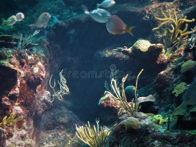 Коралловый риф морской флоры и фауны мексиканський стоковое изображение rf