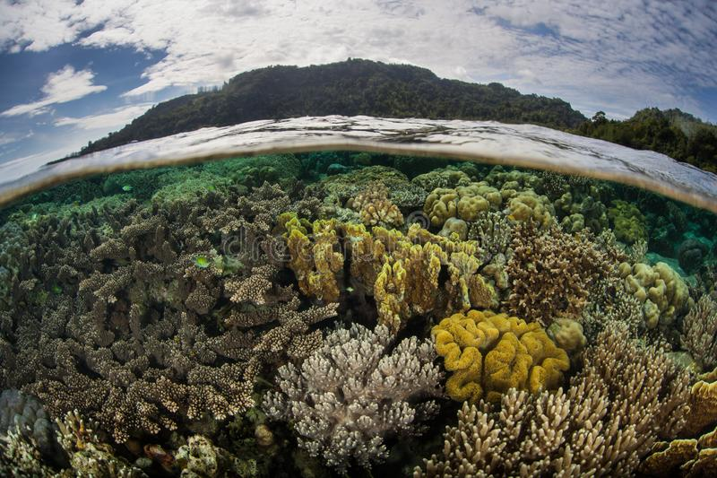 Кораллы растут в Shallows около Ambon, Индонезии стоковая фотография rf