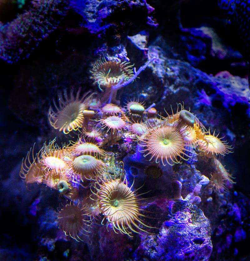 Коралл актинии стоковые фотографии rf