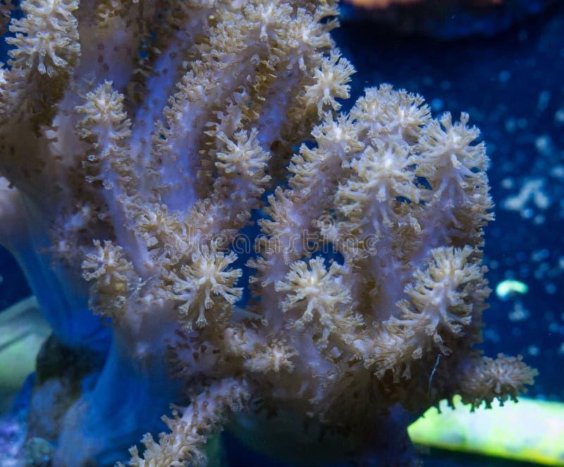Коралл кожи Tan стоковое фото