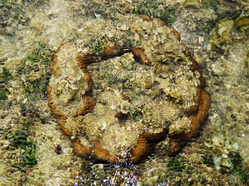 Коралл мозга, остров Kurusadai, залив запаса биосферы Mannar, Tamil Nadu, Индии стоковое изображение
