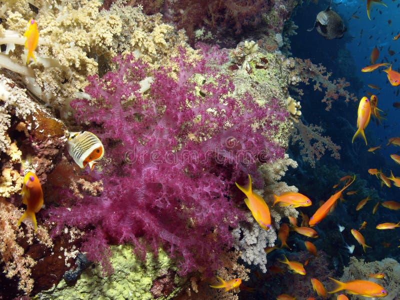 коралл мягкий стоковое фото