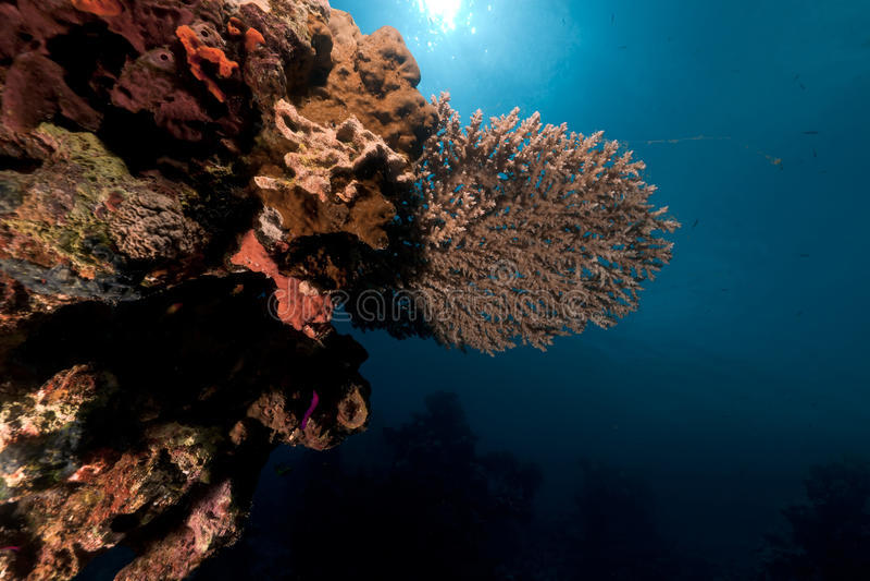 Коралл таблицы в Красном Море. стоковая фотография rf