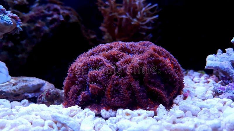 Коралл lps Blastomussa в танке аквариума рифа стоковое фото