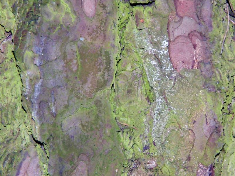 Кора дерева Aspen стоковая фотография