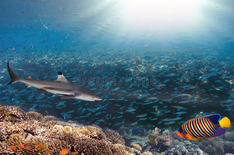 Коралловый риф моря или океана подводный в Красном Море, Египте стоковая фотография rf