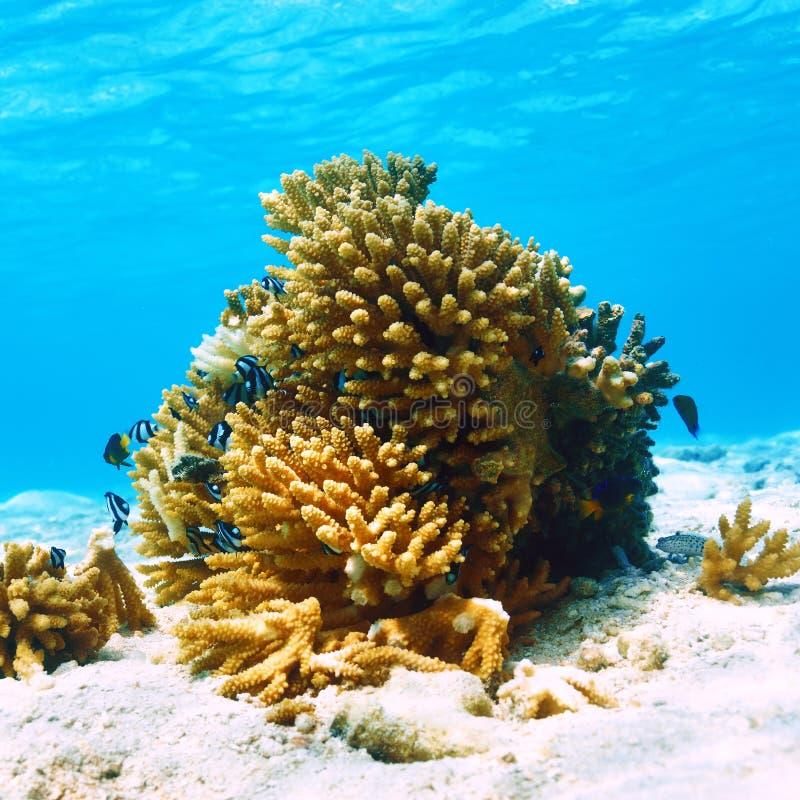 Коралловый риф на Мальдивах стоковое изображение rf