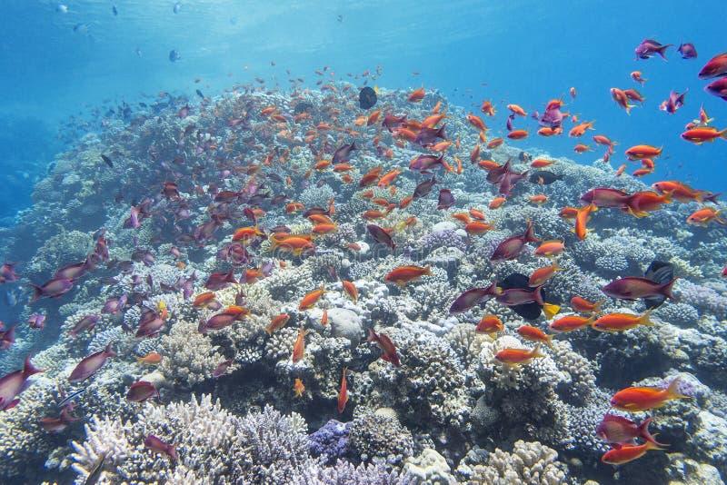 Коралловый риф с мелководьем anthias рыб в тропическом море, подводным стоковые изображения rf