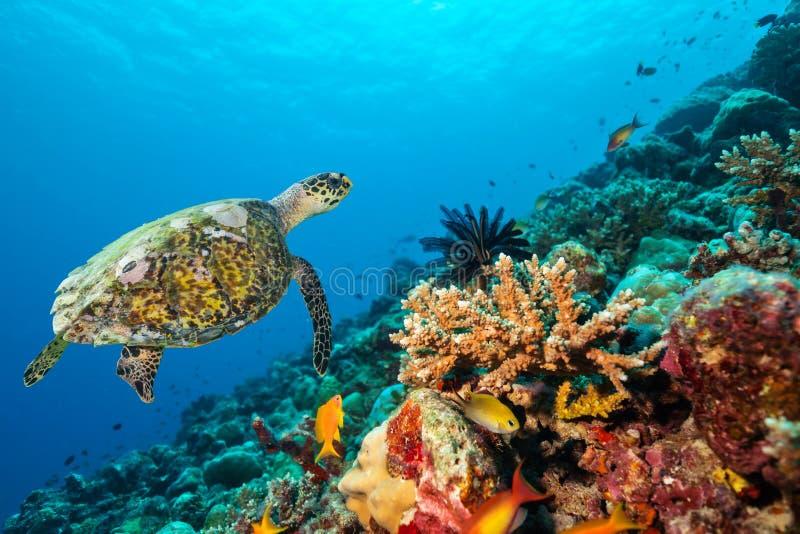 Коралловый риф с черепахой стоковые фотографии rf