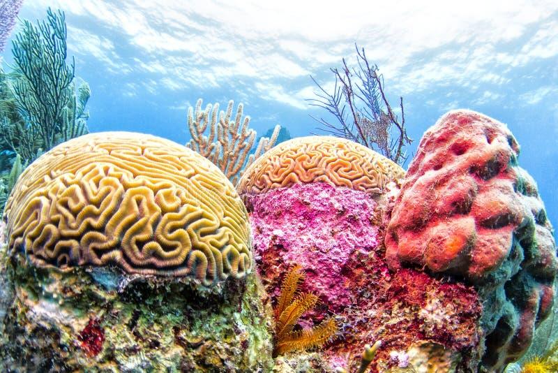 коралловый риф belize стоковая фотография
