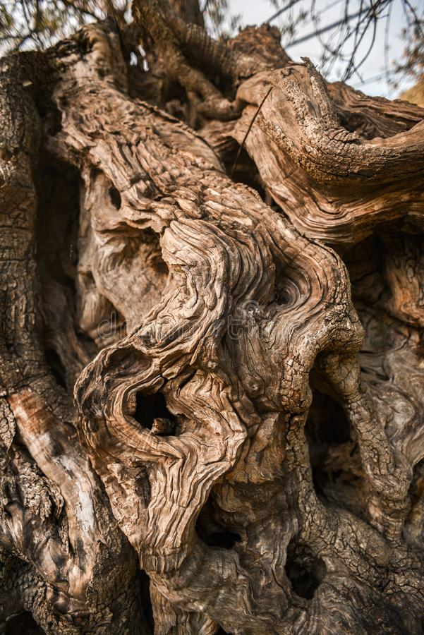 Кора оливкового дерева Текстура оливкового дерева стоковое изображение rf