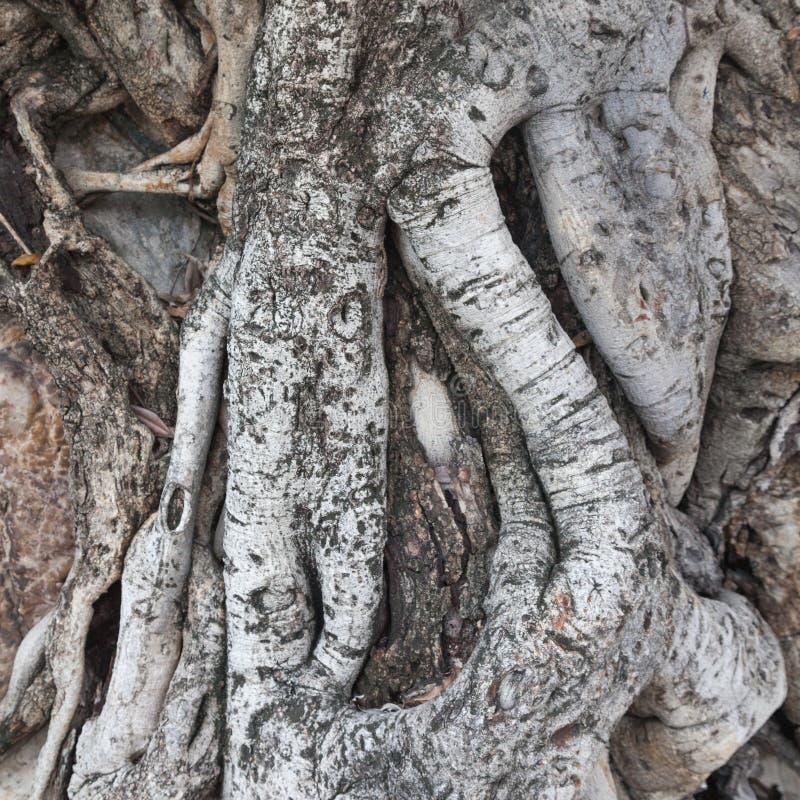 Корень времен дерева стоковое изображение rf