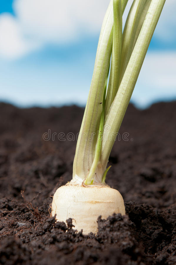корень петрушки земли органический стоковая фотография rf