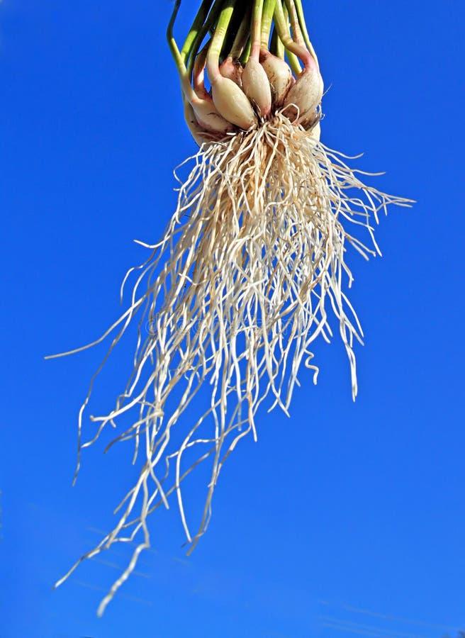 корень чеснока стоковое фото rf
