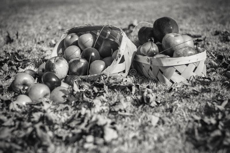 Корзины яблок осени в ярком солнечном свете стоковое изображение rf