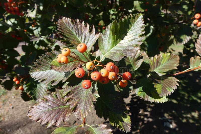 Коричневатые зеленые листья и оранжевые ягоды арии рябины стоковые изображения rf